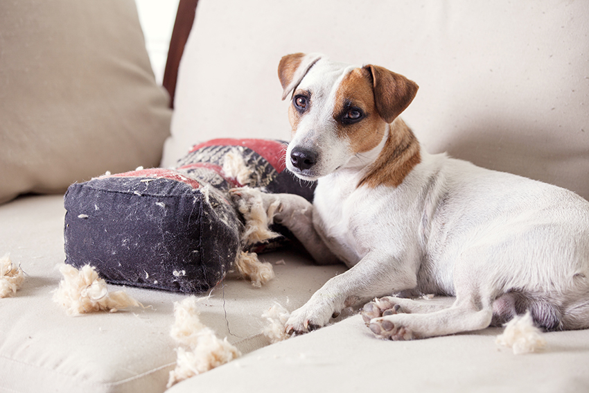 Jack Russell and chewed cushion