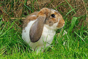 Picture of a lop eared rabbit