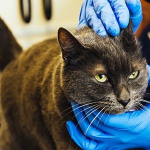 Cat being examined by veterinary surgeon